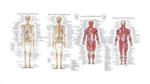 human-anatomy-diagram